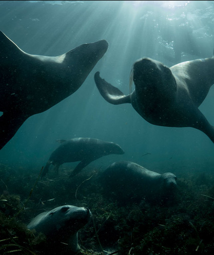 sea-lions-playing-underwater
