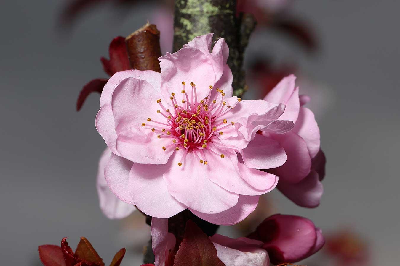 cherry-blossom-macro-shot-by-phil-reid