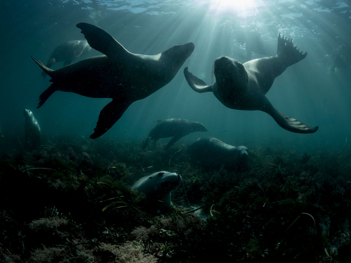 several-sea-lions-underwater-playing-near-sea-weed