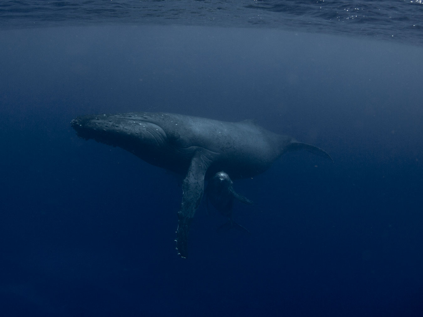 under-water-photography-of-humpback-whale-and-young-calf-nestled-close