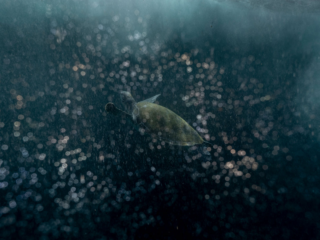 a-mossy-turtle-swimming-underwater-out-of-focus-water-bubbles-sparkle-around